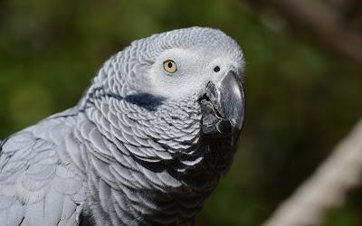 grey parrot widescreen resolution hd wallpaper