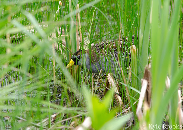 Sora in cattails