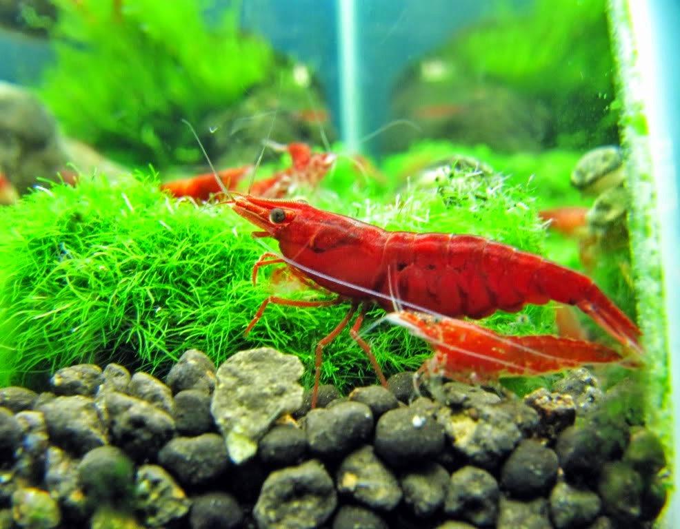 Budidaya Udang Hias Air Tawar | Akuarium Ikan Hias