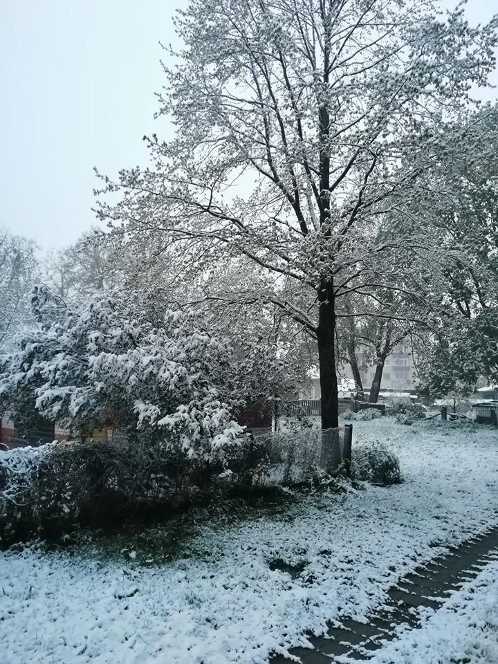 Sniegs maijā klāj zaļas lapas kokā un krūmos