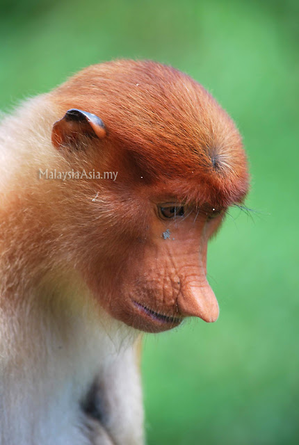 Proboscis Monkey Photo