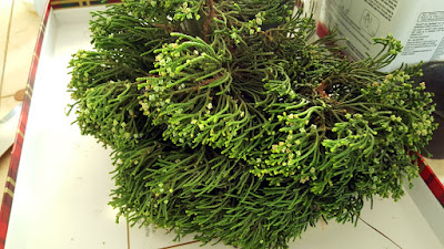 hollywood juniper cloning
