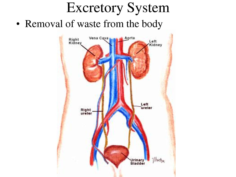 Flordemimosa Unit 5 Excretory System