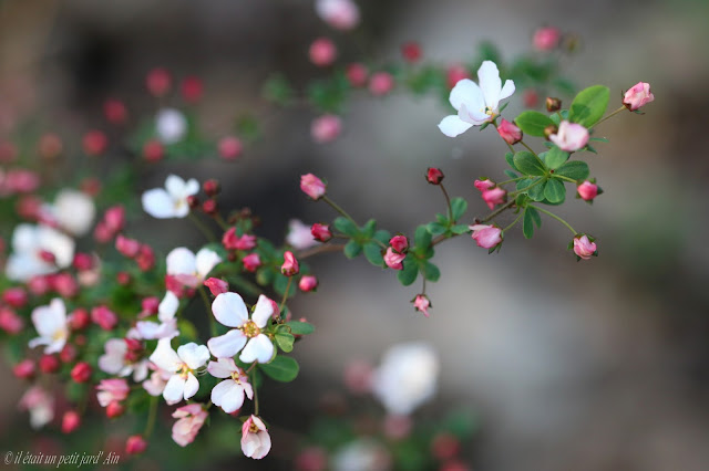 spirée fujino pink floraison printemps