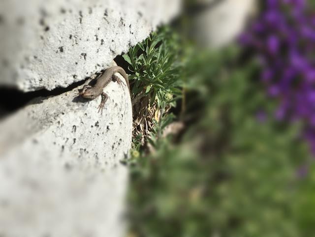 Eidechse auf der Mauer