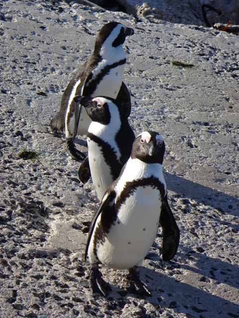 Colonia de pingüinos de Stony Point en Bettys Bay