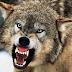 Ο Τεράστιος Λύκος κάθισε δίπλα στην  Γυναίκα!!!Θα σας Κόψει την Ανάσα ΤΟ ΒΙΝΤΕΟ!!!