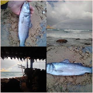 التعريف بسمكة القاروص الموجودة برفراف الشاطىء