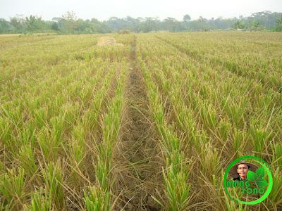 FOTO : Pemotongan padi dengan posisi ditengah batang padi
