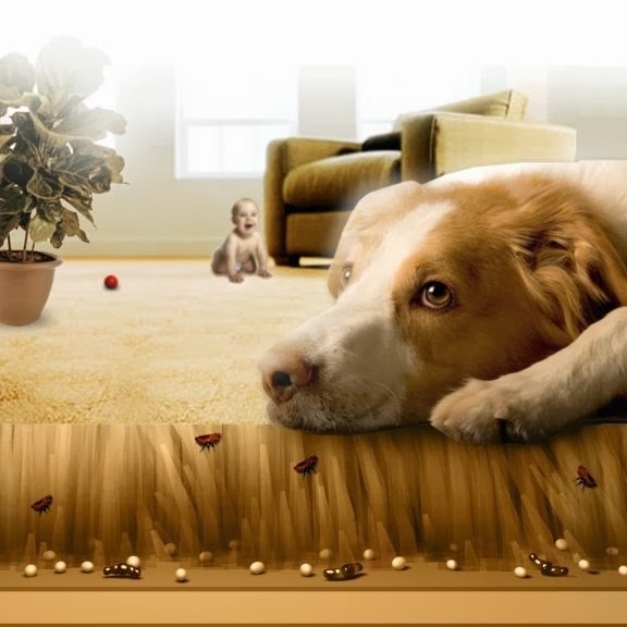 Fleas - Carpet Cleaning | Classique ChemDry