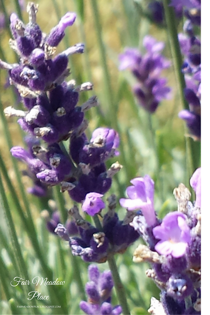 A Trip to the Lavender Farm