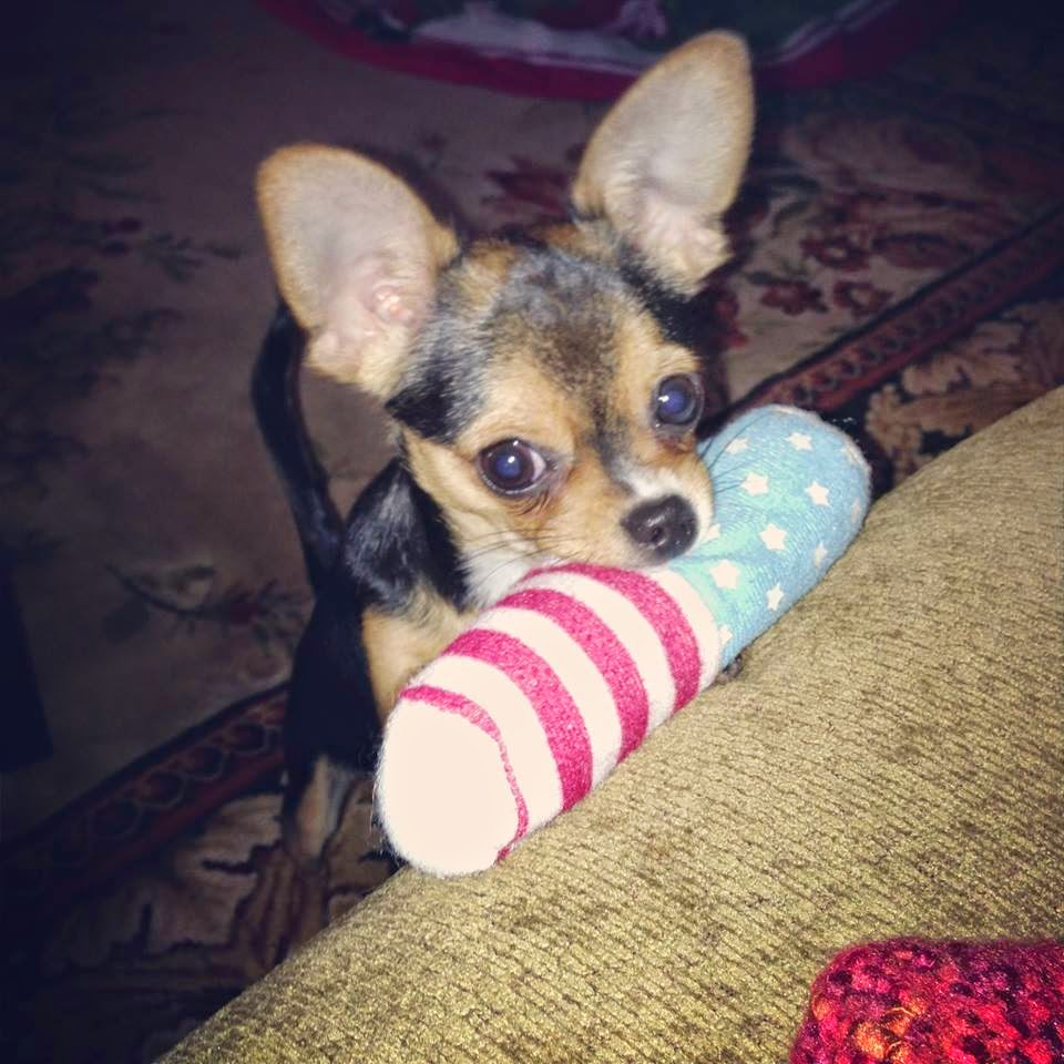 different breeds of dogs: teacup chihuahua puppies ...
