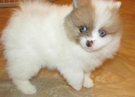 White And Brown Pomeranian Dogs