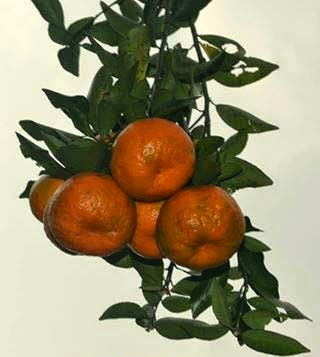 Darjeeling orange to steal show at Kolkata's Himalayan Orange Festival
