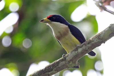 White mantled Barbet