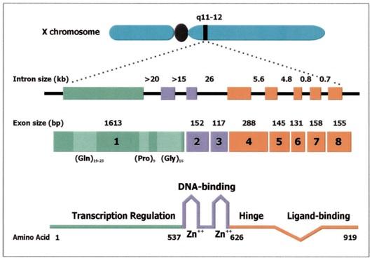 Organisasi Genomik Reseptor Androgen