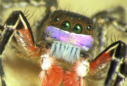 Colorful jumping spider - photo#45