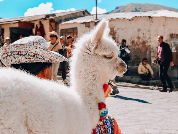 Photos de Lamas et d'Alpagas trop mignons