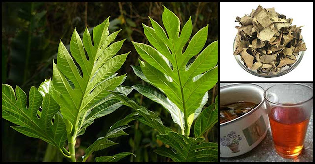 How Breadfruit Leaf Tea Helps In Improving Our Overall Health
