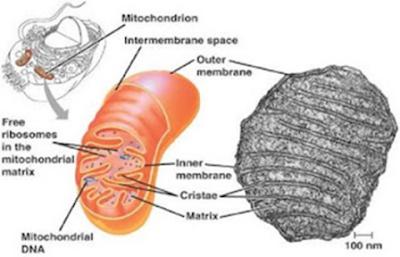 Gambar mitokondria dan keterangannya
