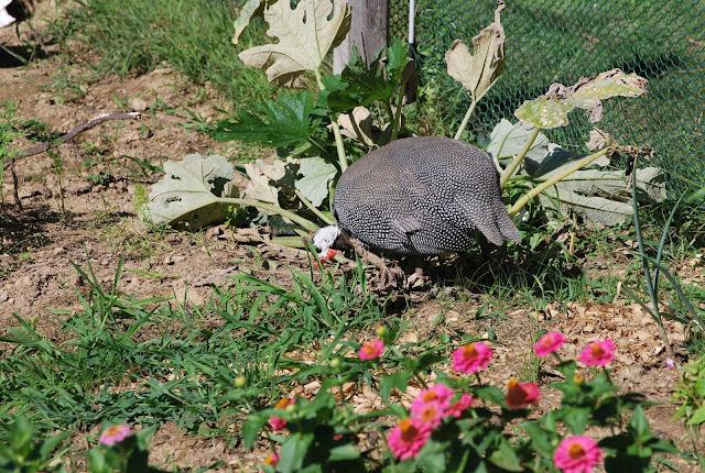 guinea hen in garden