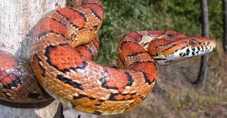Mısır yılanı adını derisinde bulunan desenlerinden alır, genellikle küçük canlılarla beslenir.
