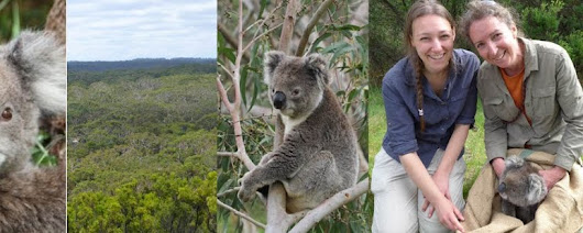 Culling koalas? Who would dare suggest such a thing?