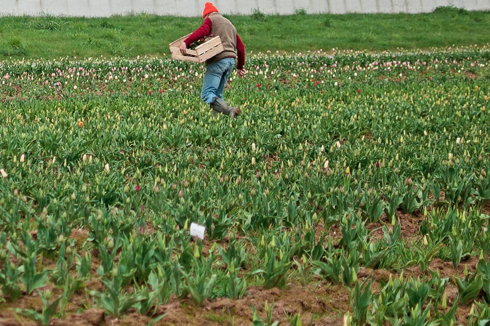 Un bénévole du lions club de bayeux cueille des tulipes dans un champ afin de les vendre en faveur de la ligue contre le cancer