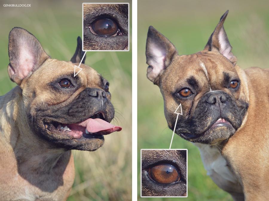 Französische Bulldogge Augen