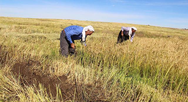Karacadağ pirincinin verimi geçen yıllara göre azaldı