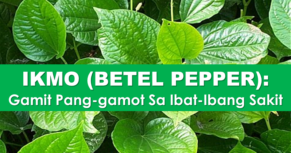 Home Remedy 101: 28 Health Benefits of Betel Pepper (Ikmo)