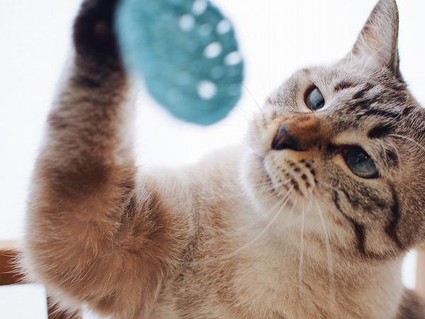 モチーフにじゃれるシャムトラ猫