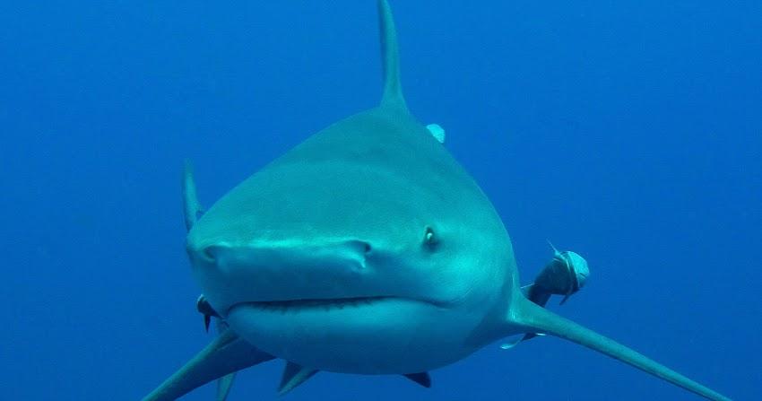 World record Zambezi shark caught in the Brede River ... |Worlds Largest Bull Shark