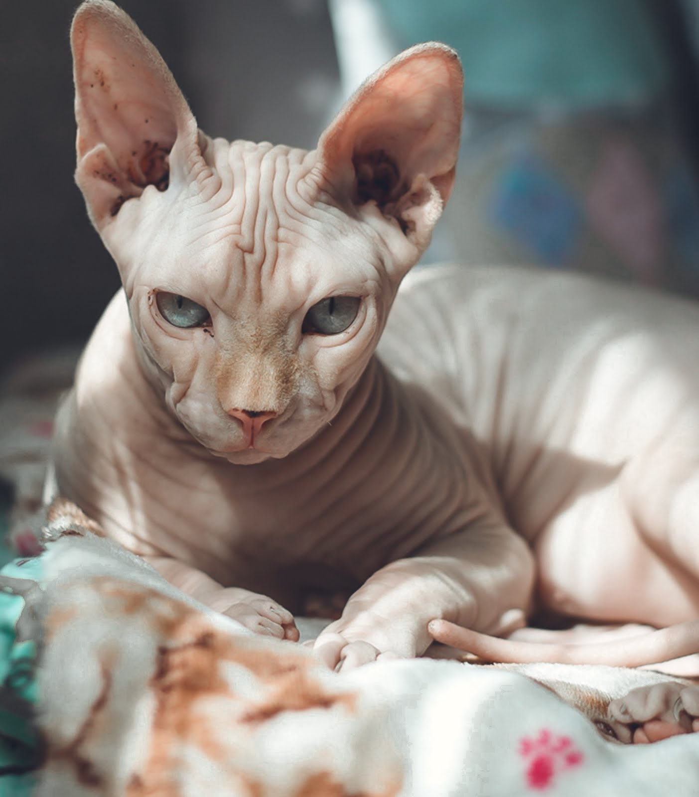 The Sphynx , very unique cat