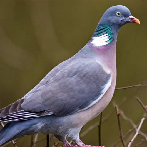 Birds of India - Image of Common wood pigeon - Columba palumbus