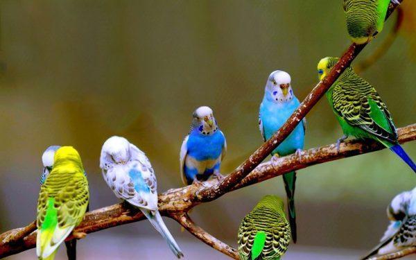 Bệnh thường gặp ở chim yến phụng