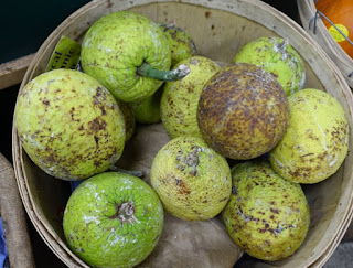 Breadfruit is a multipurpose tree and all parts of the tree are used