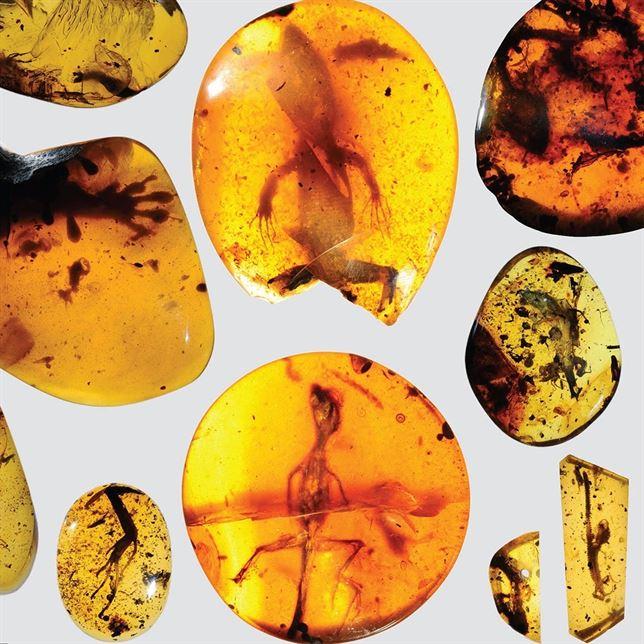 Fósil de camaleón de 99 millones de años preservado en ámbar.