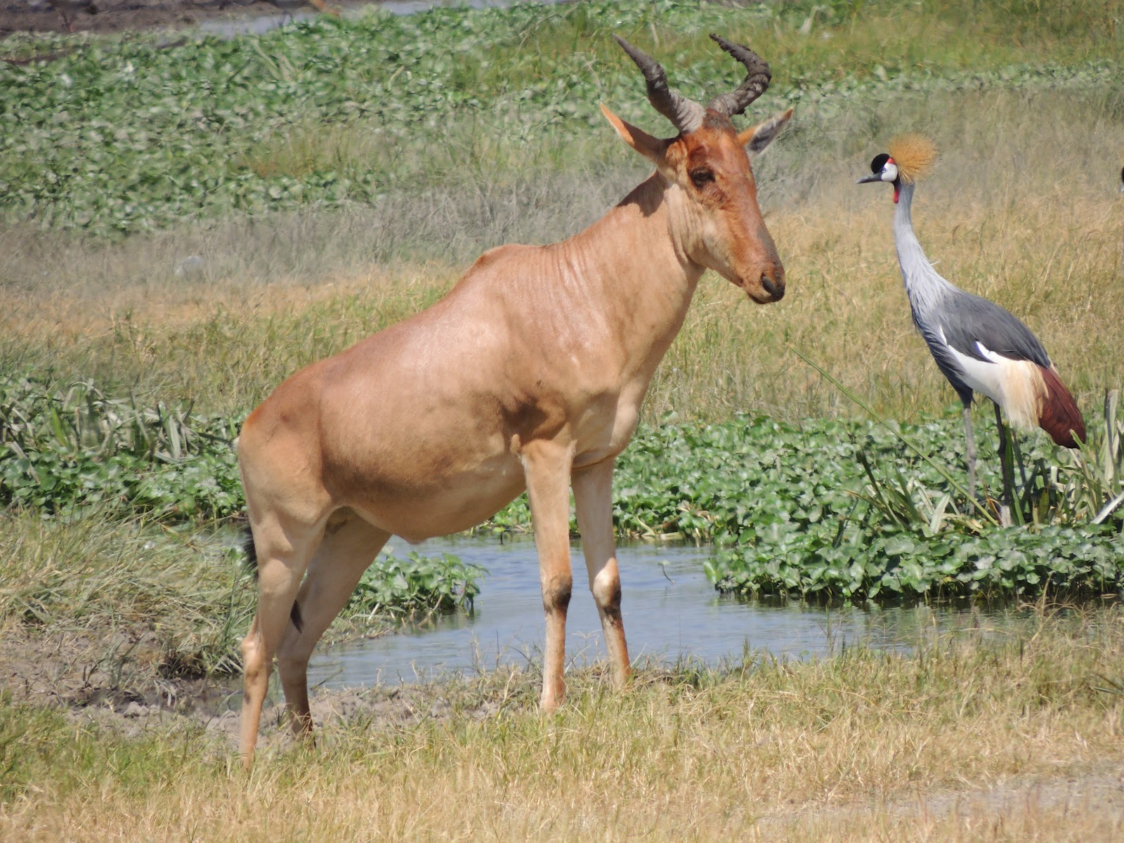 Bawolec (antylopa krowia) i koronnik czarny