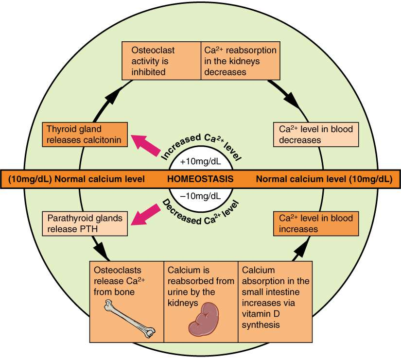 Calcium Normal Levels Physiology Homeostasis