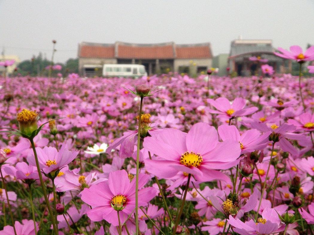 雲林莿桐- 2017孩沙里花海季,迎接台灣燈會今年雲林花海盛開美如花毯!