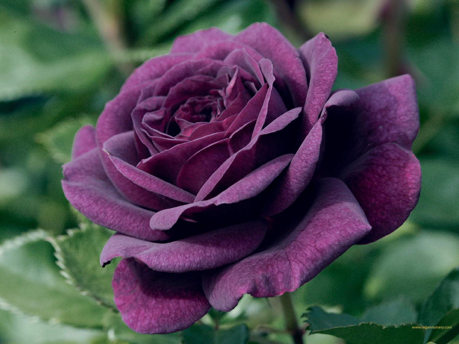 Purple Rose Flower The Variations Available And Their