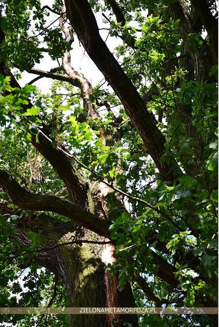 drzewo odgromnik dąb