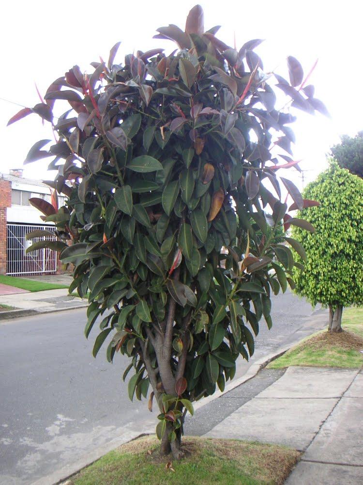 Plants Are The Strangest People Engineer Ficus Elastica
