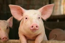 Knowledge On Pig Production Get Feasibility Study