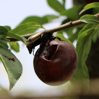 A beetle stealing one of the ripe fruit