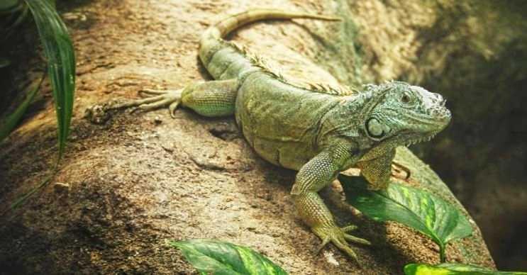 Yeşil iguana, Güney Amerika ve Karayipler'de yaşayan bir kertenkele çeşididir.
