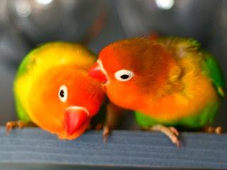 cara-ternak-burung-lovebird.jpg