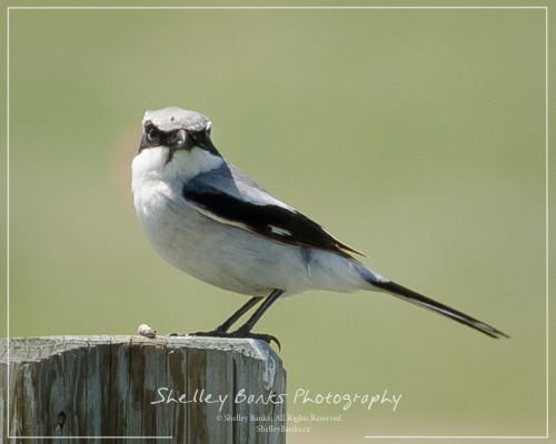 Loggerhead Shrike. Copyright © Shelley Banks, all rights reserved.