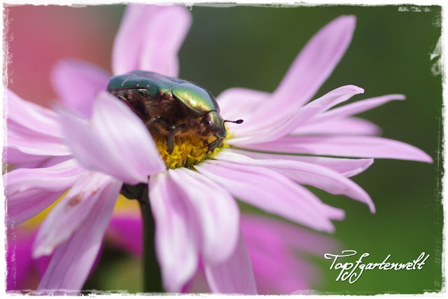 Gartenblog Topfgartenwelt: Rosenkäfer auf Magerite